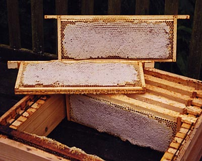 Honey comb ready for extraction